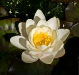 Pond lily