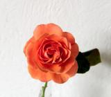 Mac's rose