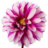 """""""Cupido"""" (Mignon Dahlia)"""