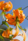 Tiger Lily (Lilium henryi)