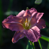"""Summer Wine"" (Hemerocallis)"
