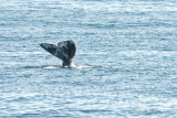 Pacific Gray Whale migration