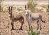 wild burros