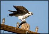 Osprey with his dinner