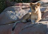 WAP Lion 1