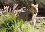 WAP Lion 2
