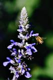Garden Bees #4