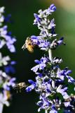 Garden Bees #3