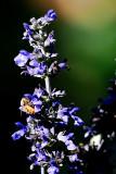 Garden Bees #2