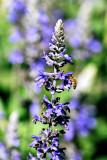 Garden Bees #1
