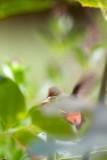 Garden Humingbird #4