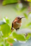 Garden Humingbird #1
