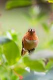 Garden Humingbird #2