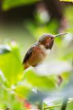 Garden Humingbird #3