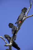 Red Tailed Black Cockatoos_web.jpg