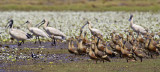 Whistling Ducks and Spoonbills