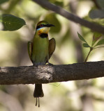 Rainbow Bee Eater_Web.jpg