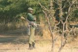 A group of armed guards follow the rhinos around all day to protect them from potential poachers