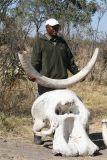 An elephant skull and tusk