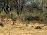 A large herd of Impala