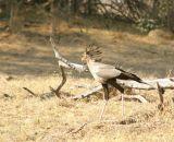A Secretarybird