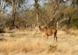 A female Greater Kudu
