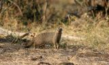 A Banded Mongoose