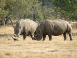 *The only pair of White Rhinos in Zambia