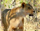 *Note the blood on this lioness, who is returning from a night of hunting and is looking for her young cubs.