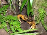 Crab on trail to Hot Pools at Trafalgar Falls