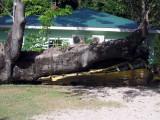 Tree Crushed School Bus During Hurricane