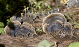 Turkeytail mushrooms on fallen log