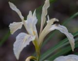 Douglas' Iris (Iris douglasiana)