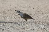 Quail, Pheasant, Turkey