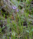 Henderson's Shooting Star (Dodecatheon hendersonii)