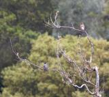 Northern Flicker and American Robin at Stevens Creek Park