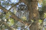 Nyctale de Tengmalm  23 - 35 cm  (Boreal Owl )