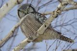 Chouette éperviere ( Northern Hawk )