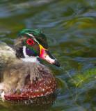 Canard Branchu Mâle / Wood Duck