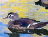 Canard Branchu _ Wood Duck (  Female )