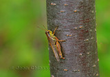 ( Grasshopper ) Sauterelle insecte orthoptère