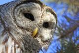 ( Full-frame ) Chouette Rayée  (Barred Owl )