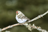 Sizerin Blanchâtre ( Hoary Redpoll )