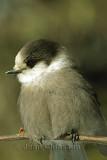 Mésangeai du Canada ( Gray Jay )