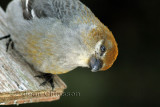 Durbec des sapins - Pine Grosbeak   ( Female)