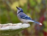 Bird Bath Blues