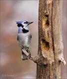 Woodpecker Envy