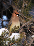 Cedar Waxwing among the Bohemians