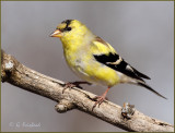 American Goldfinch Transition