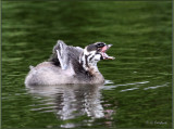 Young Pied -billed  Grebe